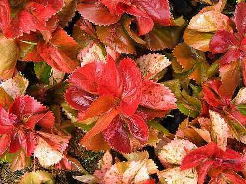Plantas ornamentales vivero bagua grande hogar for Viveros ornamentales