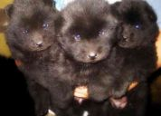 Se venden cachorros chow-chow color negro