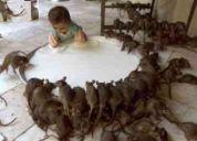 Servicio de fumigacion, fumigaciones ,eliminar ratas,lima peru al 310*2540