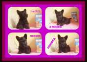 Vendo linda cachorrorrita scottish terrier color brindel