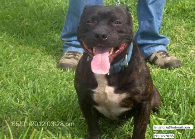 Se Busca Pareja Staffordshire Bull Terrier