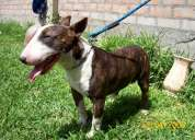 Cachorra bull terrier con pedigree