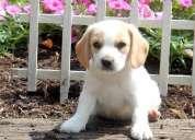 Hombres y mujeres cachorros beagle