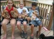 Los cachorros de darling caniche para adopción