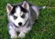 Diminuto cachorros caniches de juguete