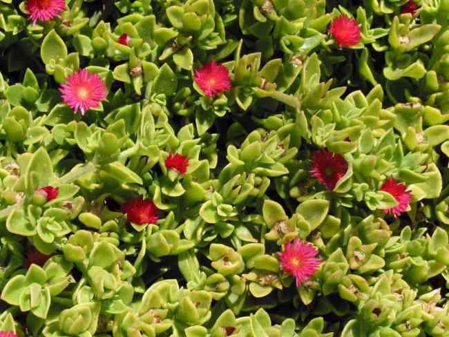 Venta de plantas ornamentales y grass natural jgrass sac for Ver plantas ornamentales