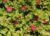 Venta de plantas ornamentales y grass natural jgrass sac